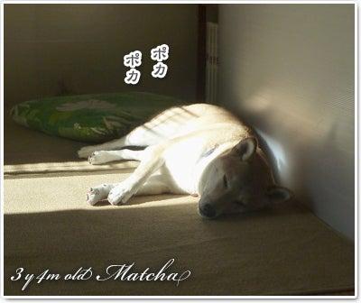 あたち柴犬 抹茶だヨ!  - 伊賀忍者柴犬の道 --120201_p1雪食い合戦