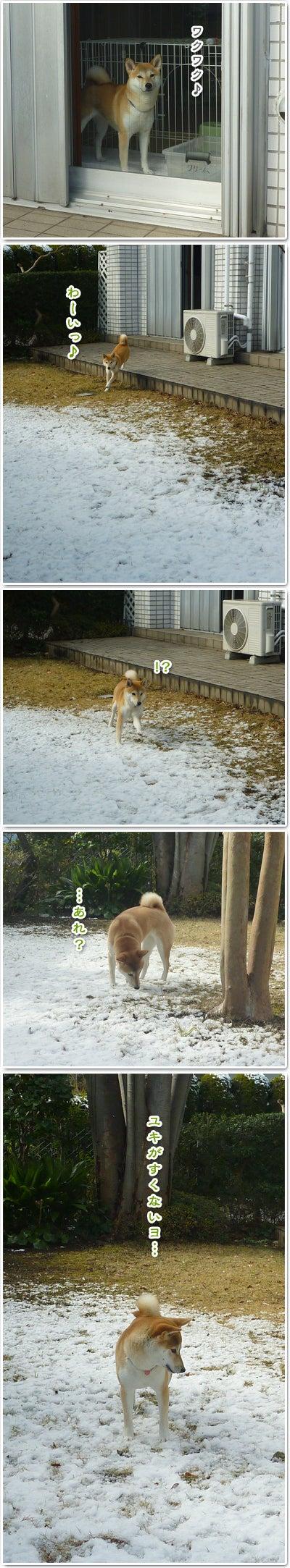 あたち柴犬 抹茶だヨ!  - 伊賀忍者柴犬の道 --120201_p3雪食い合戦