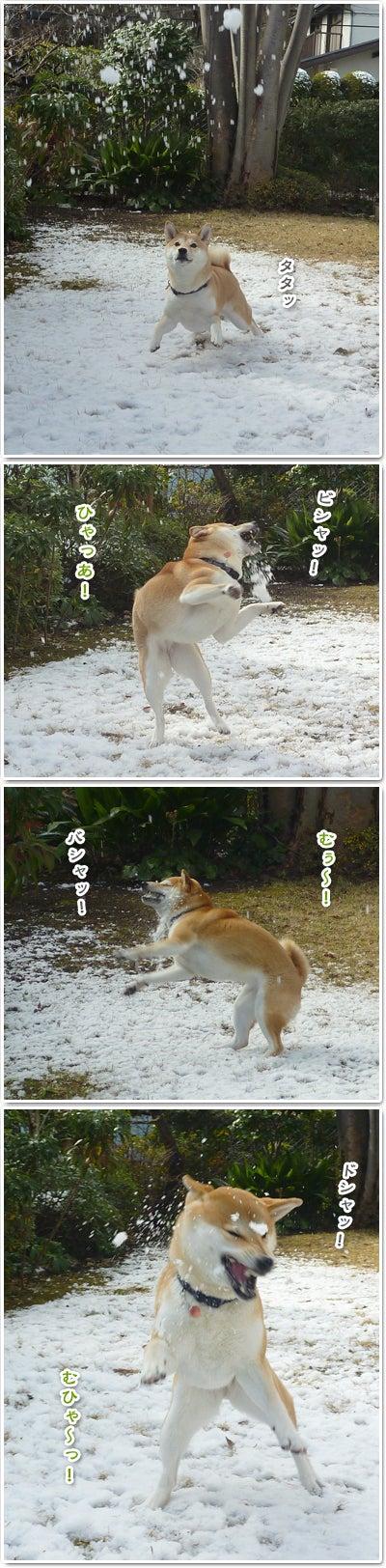あたち柴犬 抹茶だヨ!  - 伊賀忍者柴犬の道 --120201_p5雪食い合戦