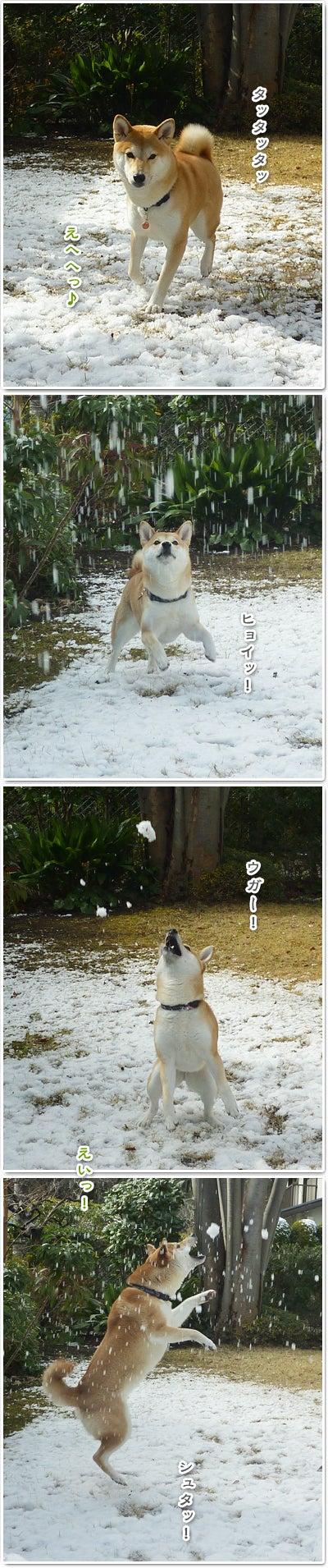 あたち柴犬 抹茶だヨ!  - 伊賀忍者柴犬の道 --120201_p6雪食い合戦