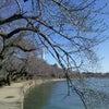 ワシントンの桜・・今年撮りたての写真。の画像