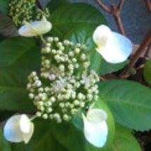 冬にアジサイが咲きま…