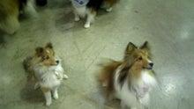 ミニシェルティ・シオンのブログ-2012022218140000.jpg