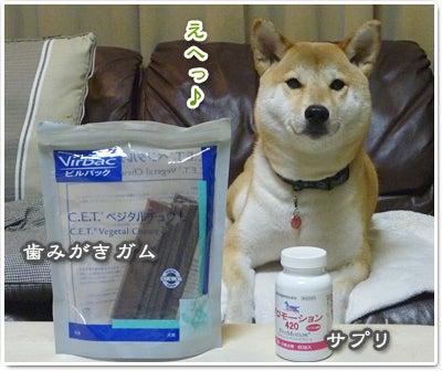 あたち柴犬 抹茶だヨ!  - 伊賀忍者柴犬の道 --120226_p02柴犬抹茶、ストルバイトが消える!