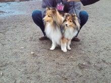 ミニシェルティ・シオンのブログ-2012022610440000.jpg