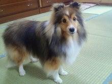 ミニシェルティ・シオンのブログ-2012022622170000.jpg