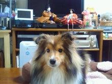 ミニシェルティ・シオンのブログ-2012022815530000.jpg