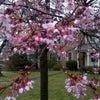 あぁ~~~~咲いちゃってました、桜!の画像