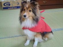 ミニシェルティ・シオンのブログ-2012020618310000.jpg
