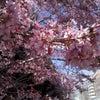 桜の開花予報がオフィシャルに発表・・ほぼ平年並~らしぃ。。の画像