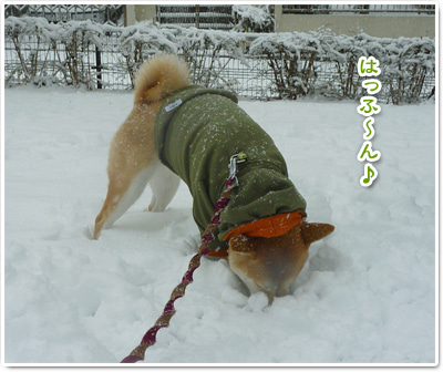 あたち柴犬 抹茶だヨ!  - 伊賀忍者柴犬の道 --120303_p14白い穴がいっぱい