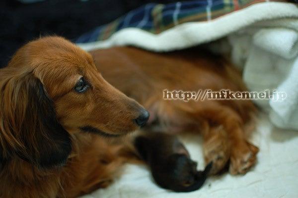 ミニチュアダックス # WAN LIFE #-ダックス子犬