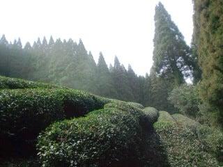 釜炒り茶工房カジハラ園 無農薬のお茶栽培と人生の楽園を求めて…の日々。