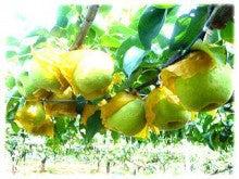 園長のブログ-かおり梨が大きくなって..