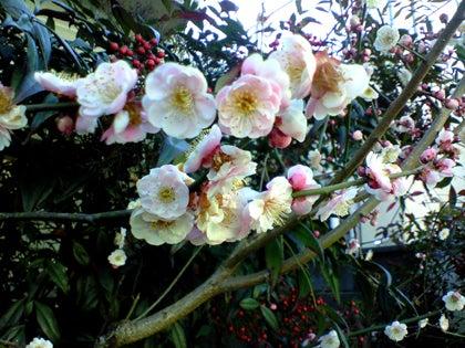 ドクターNは見た!-ピンク色の梅の花