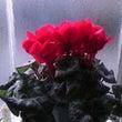 3度目の開花♪