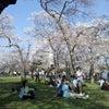ワシントンの桜もうすぐ満開!開花じゃなくってぶあぁ~と咲いちゃってます!の画像