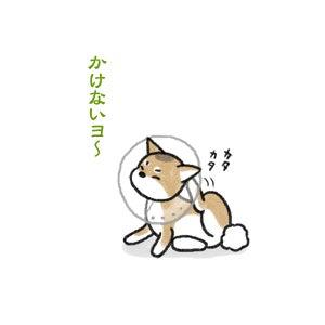 あたち柴犬 抹茶だヨ!  - 伊賀忍者柴犬の道 --090318_2柴犬抹茶の避妊手術3
