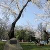 ワシントンの100年目の桜の木、TVで見ましたか~?の画像