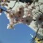 梅は咲いたが、桜はま…