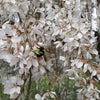 春になると一生懸命働く彼ら。。桜のハニーコレクト中~!の画像