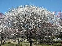 コスモちゃんの介護タクシー日記-梅林公園2012-3