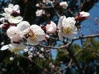 コスモちゃんの介護タクシー日記-梅林公園2012-4