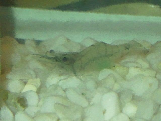 ゴリグチのブログモエビで鯛は釣れるのか?