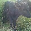牛の赤ちゃん(*^^…