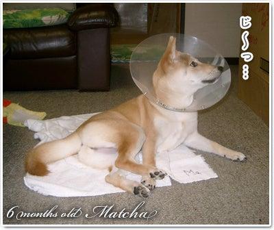 あたち柴犬 抹茶だヨ!  - 伊賀忍者柴犬の道 --090325_p1柴犬抹茶の避妊手術4