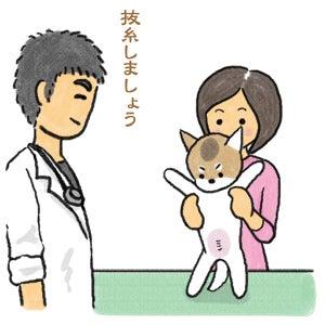 あたち柴犬 抹茶だヨ!  - 伊賀忍者柴犬の道 --090325_4柴犬抹茶の避妊手術4