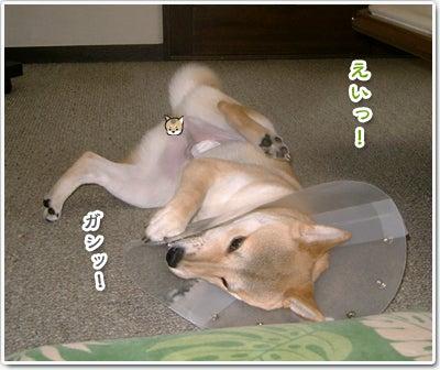 あたち柴犬 抹茶だヨ!  - 伊賀忍者柴犬の道 --090325_p2柴犬抹茶の避妊手術4