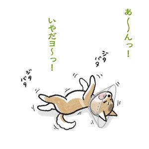 あたち柴犬 抹茶だヨ!  - 伊賀忍者柴犬の道 --090325_1柴犬抹茶の避妊手術4