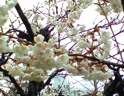 $ドクターNは見た!-早咲きの桜
