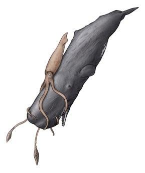 川崎悟司 オフィシャルブログ 古世界の住人 Powered by Ameba-ダイオウイカを捕食するマッコウクジラ