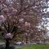 ワシントンエリア、ただ今八重桜満開中~わたしは桜もち連想中~の画像