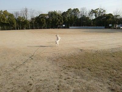 白い恋犬!白柴さくら日記