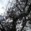 近所の桜が咲き始めましたの画像