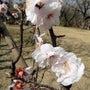舞岡公園の桜は?