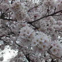 近所の桜!