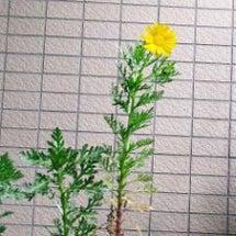 春菊(シュンギク)っ…