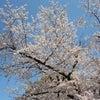 今年のサクラは鶴舞公園にての画像