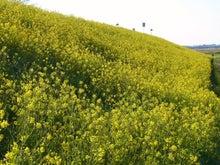 鴻巣の整体院ささき 整体よもやま話-菜の花1
