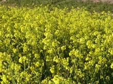 鴻巣の整体院ささき 整体よもやま話-菜の花2