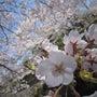 祖師谷公園 お花見