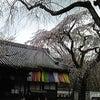 醍醐寺のお花見の画像