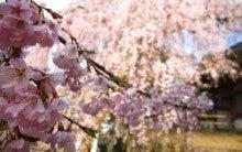 .-0407氷室神社桜