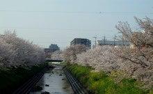 .-0410通勤途中の桜01