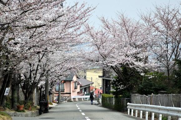 茶々吉とデジ一 のんびり旅-120410_桜の坂