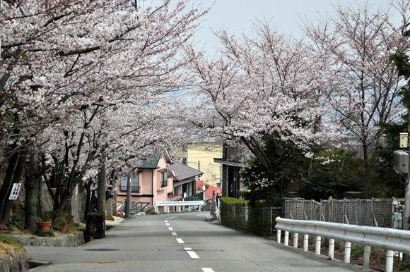 茶々吉とデジ一 のんびり旅-120410_桜の坂3